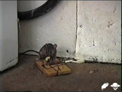 Мышка vs. мышеловка