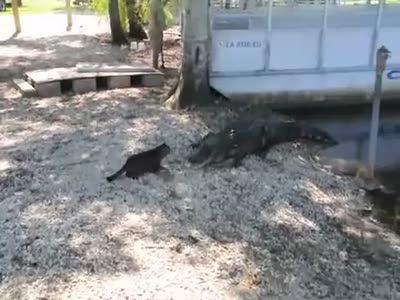 Кот и крокодилы