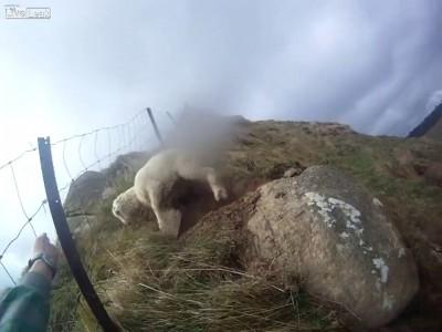 Спасение овцы  в горах Новой Зеландии