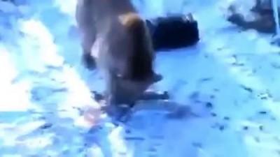 Медведь угнал автомобиль у охотников, Жесть!