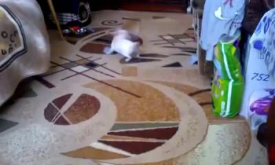 Чихуахуа жжет, Chihuahua play pranks