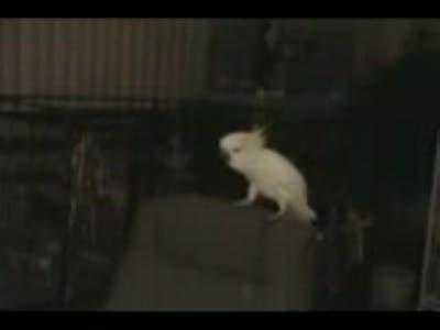 попугай отжыгает