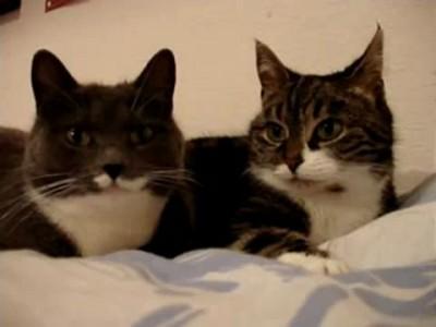 Кошки беседуют