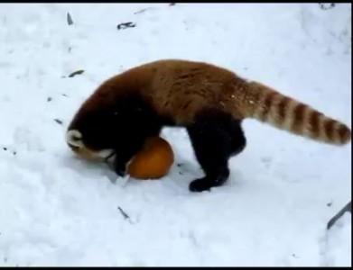 Red Panda vs Pumpkin