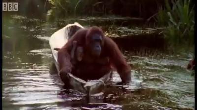 Attenborough: Amazing DIY Orangutans - BBC Earth