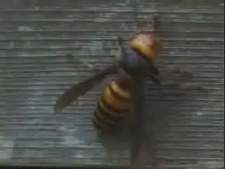30 шершней вырезали 3000 пчёл за полтора часа