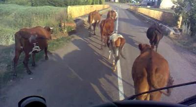 Коровы и Камаз