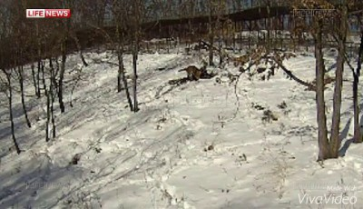 козел тимур пострадал от тигра амура
