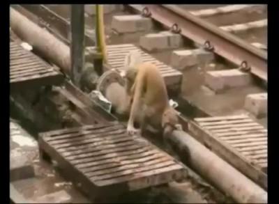 Обезьяна спасает друга