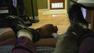 Dexter a Miniature Boxer Talks