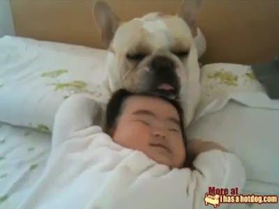 Наглый французский бульдог и ребёнок