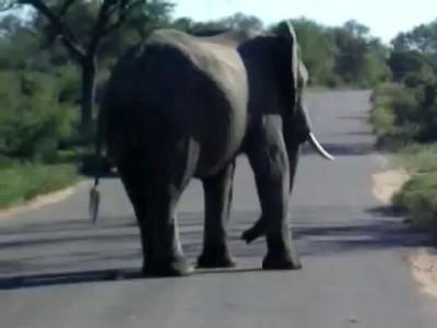 Huge Elephant Taking A Dump