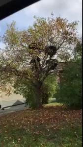 Four Black Bears in a Tiny Tree