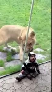 Голодная львица хочет съесть малыша