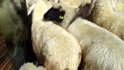 Модные овцы