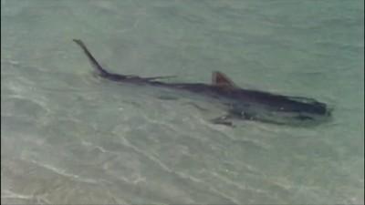 Черепаха против акулы