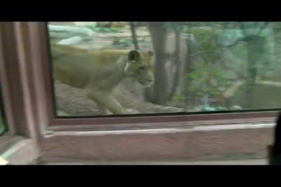 Львица и ребенок в зоопарке