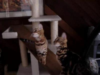 бенгальские котята на доске