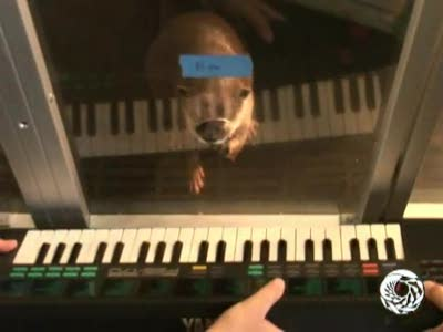 Freshwater otter plays piano