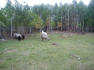 Овца & Коза