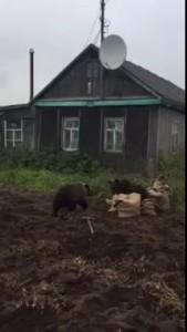 медведи отжимают картошку