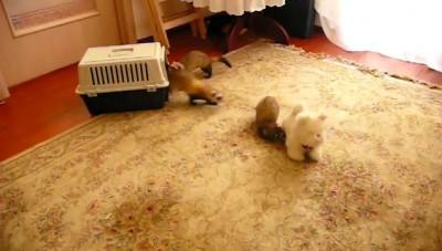 Стая хорьков против собаки