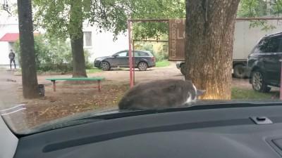 Кот решил прикорнуть на капоте автомобиля