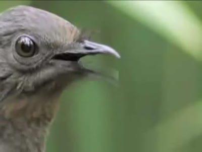 Птичка - имитатор