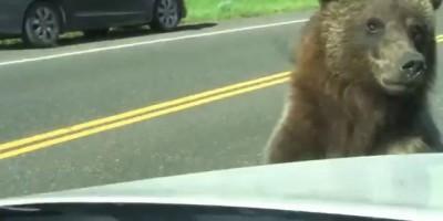 Медведь попытался залесть на машину