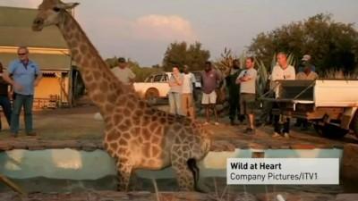 Спасение жирафа