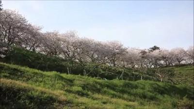 Sakura 2013 in Japan