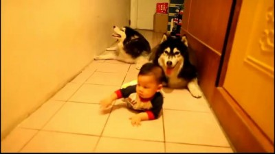 Два аляскинских маламута учат малыша ползать .
