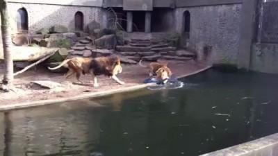 Львы поймали обед в клетке !