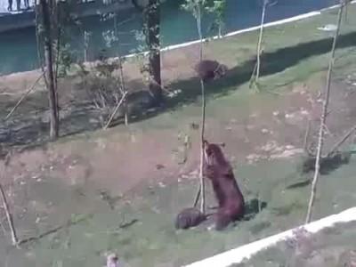 Медведица спасает своего медвежонка .