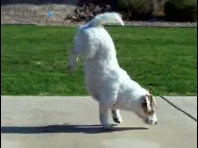 Дресированный пес-трюкач