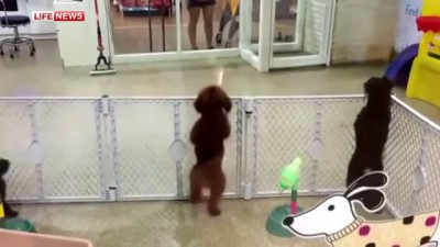 Видео с пуделем, танцующим сальсу, покорило интернет-пользователей