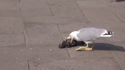 Чайка ест голубя/Seagull eats pigeon
