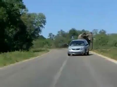 Слон напал на водителя