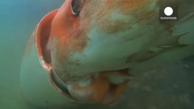 Гигантского кальмара сняли на видео у берегов Японии