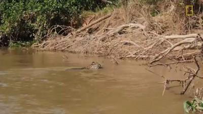 Ягуар охотится на крокодила