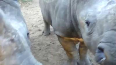 Детеныши носорога