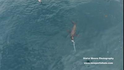 Голодный морской лев пообедал акулой