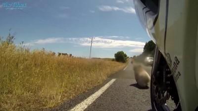 Коала на дороге