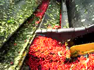 Как продвинутые фермеры черешню собирают