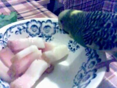 Попугай ест сало