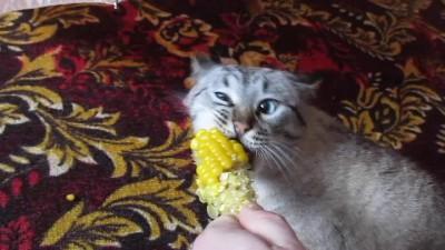 Кот и кукуруза