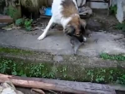 Собака усыновила котёнка