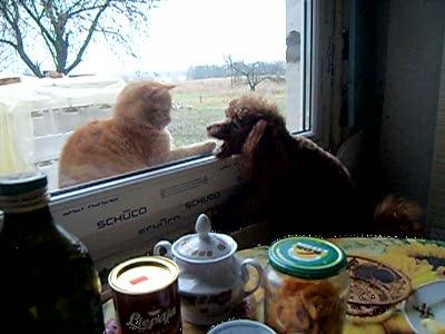 Кот дразнит собаку через окно