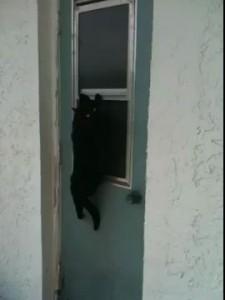 Кот-домушник лезет в форточку
