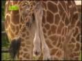 Рождение жирафа